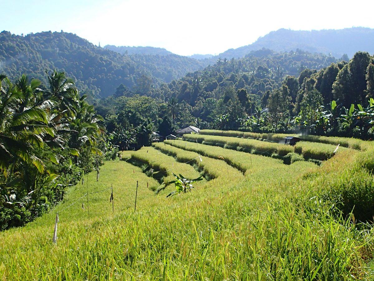 Wasserfälle und Reisfelder – Wandern in Munduk (Bali)